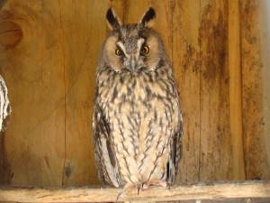 Long-eared_Owl-Mindaugas_Urbonas-1