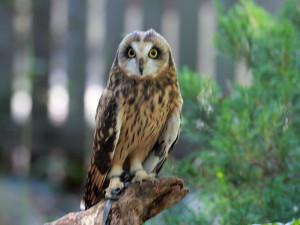 Short-eared_Owl_RWD1