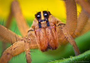 female wolf spider robert shahan