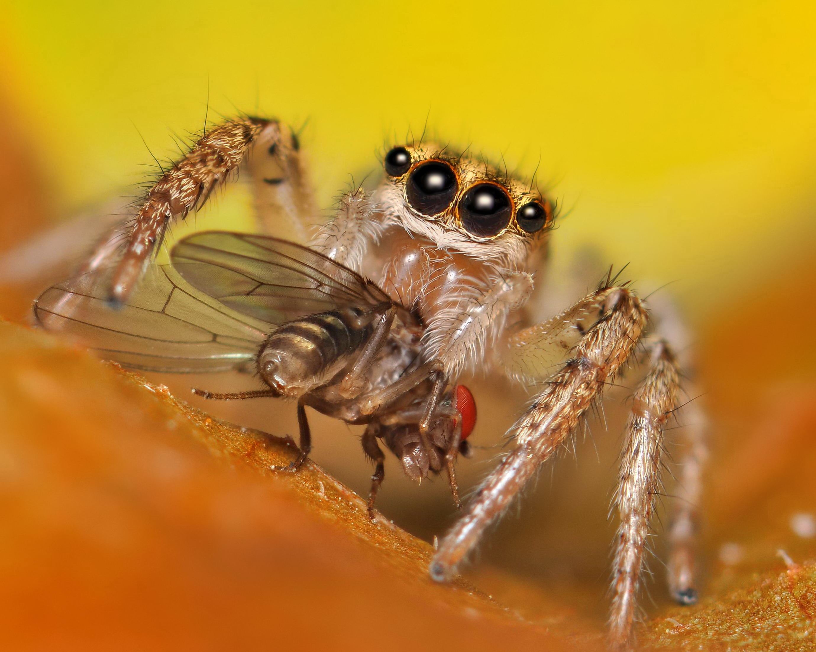 What Do Wolf Spiders Eat >> How Spiders Eat The Infinite Spider