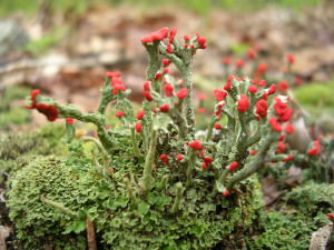 Cladonia_cristatella_(British_Soldier)