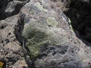 j brew flicker of map lichen