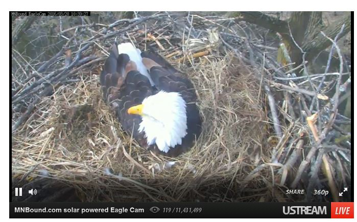 Live eagle cam from Minnesota Bound (Photo: Minnesota Bound).