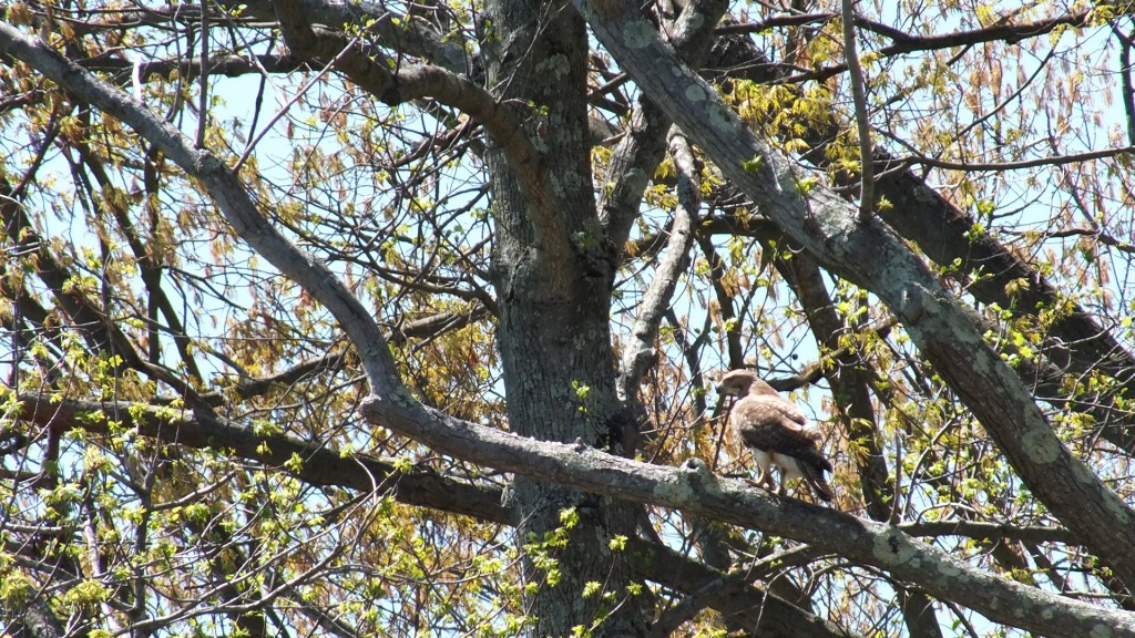 Spring red tailed hawk
