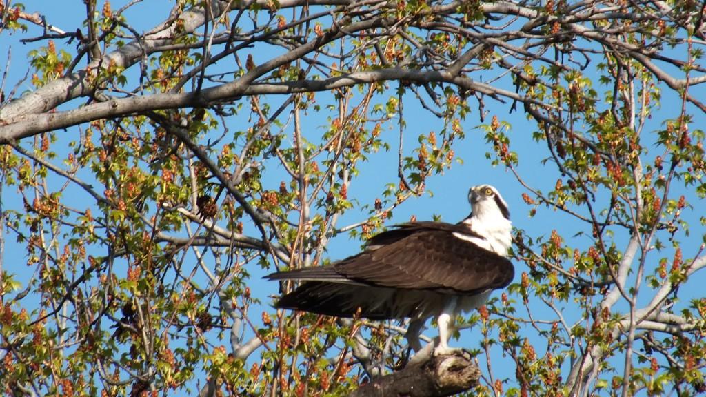 Spring osprey