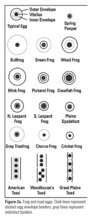 frog egg id chart