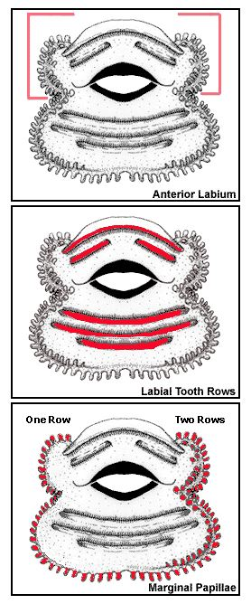 tadpole labium