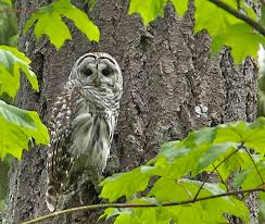 barred owl flicker A. Davey