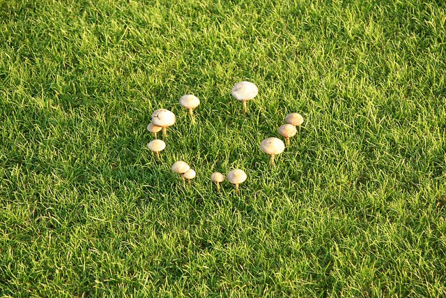 Fairy_ring_-_geograph.org.uk_-_1057031wiki