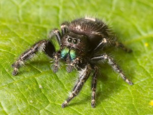 Bold jumping spider wiki