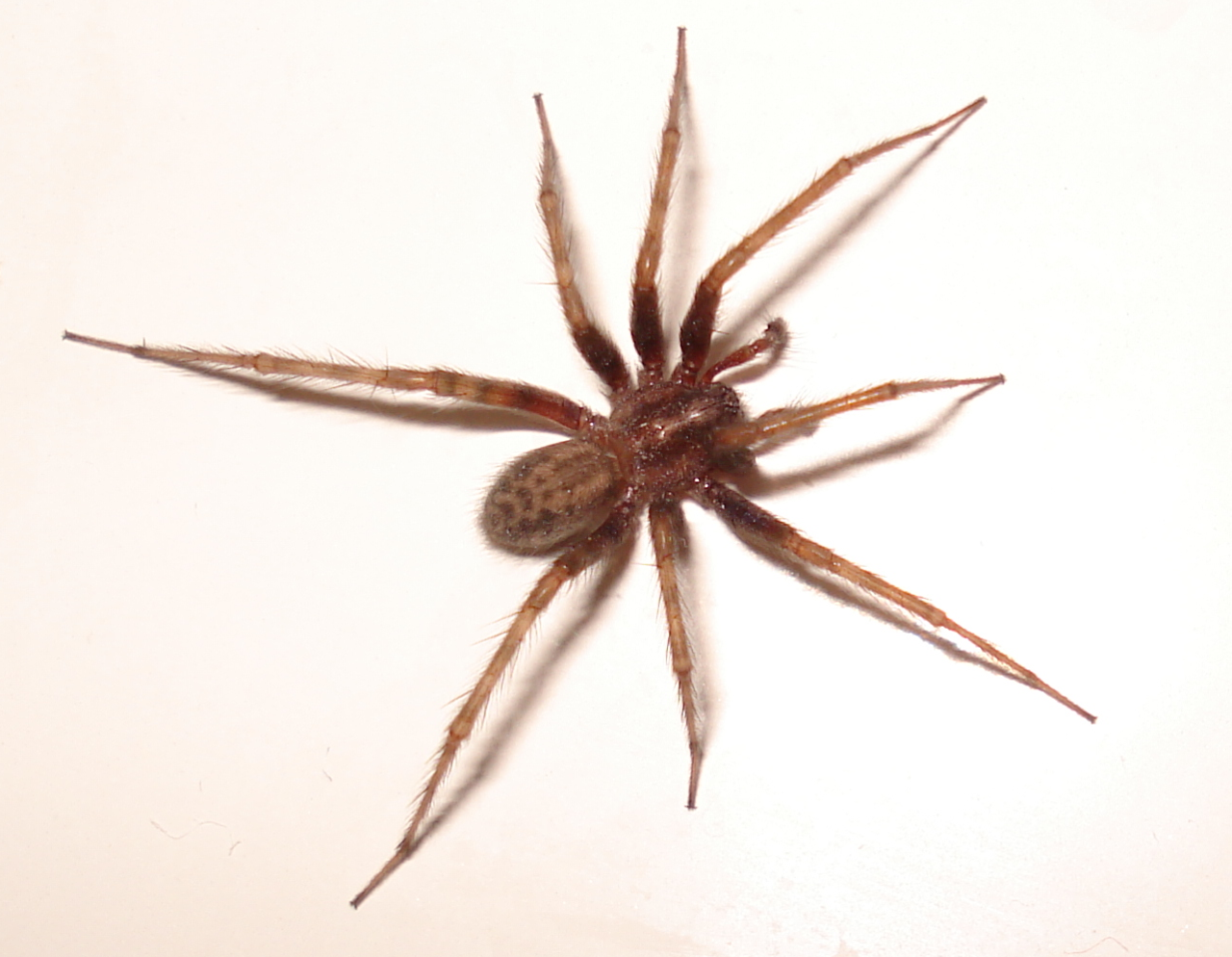 Common House Spiders: What's Around My Home? - The ...