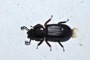 A_Bess_beetle_(Passalidae)_(9407342587)