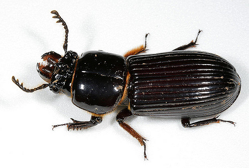 bess beetle cotinis 2