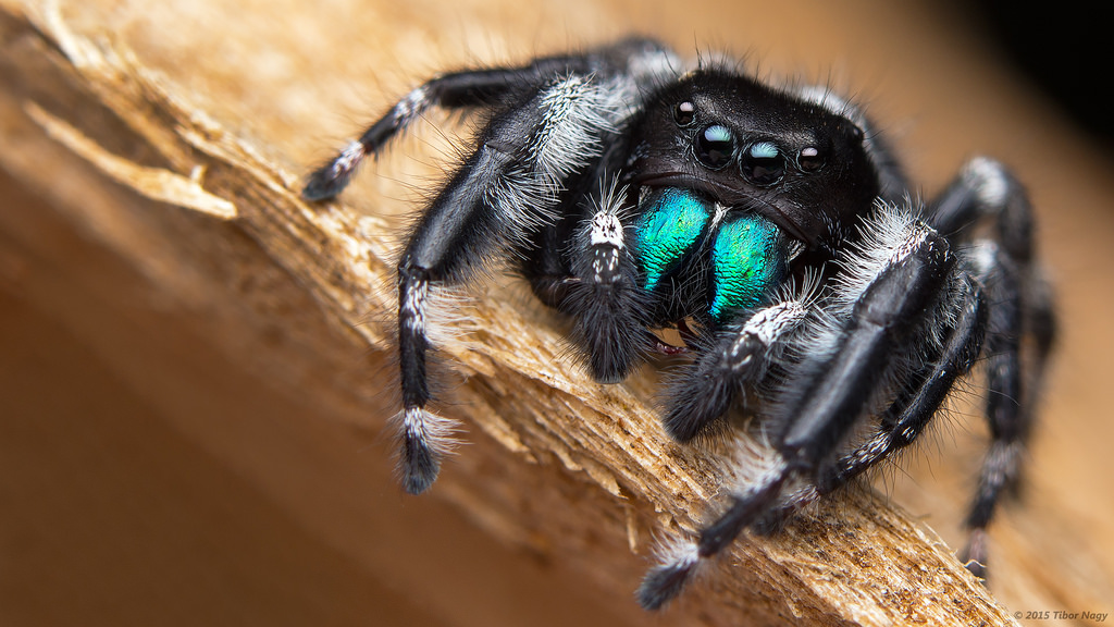 Bold Jumping Spiders - The Infinite Spider