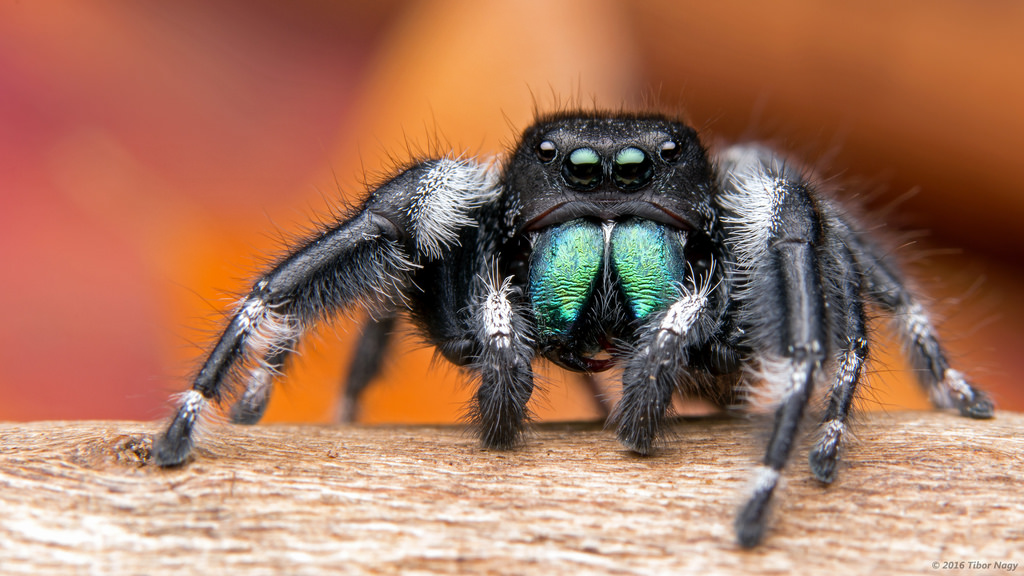 Bold Jumping Spiders The Infinite Spider