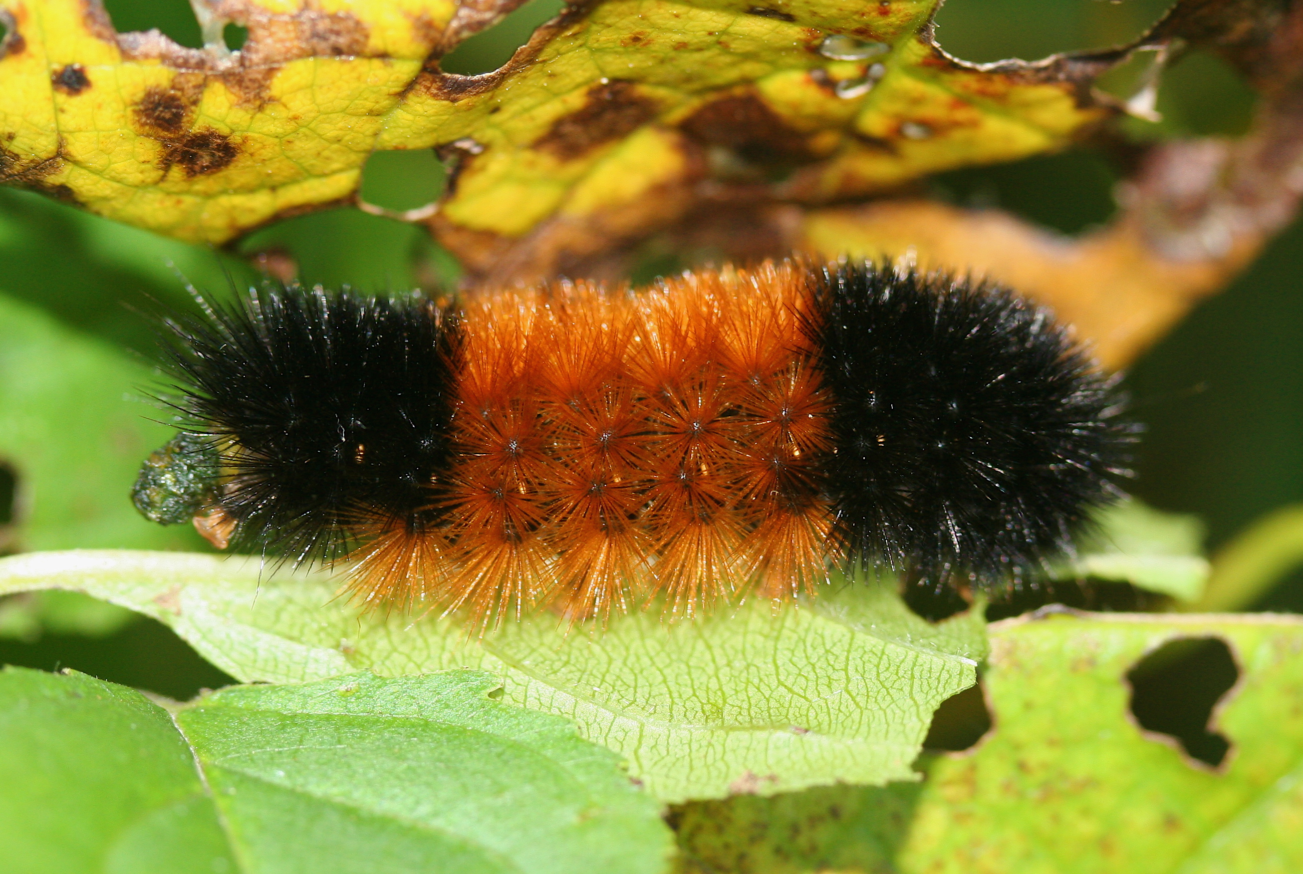 The Woolly Bear Caterpillar In Winter The Infinite Spider