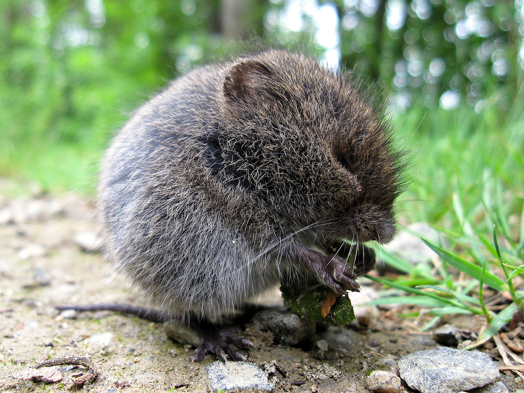 An Intro to Moles, Voles, and Shrews