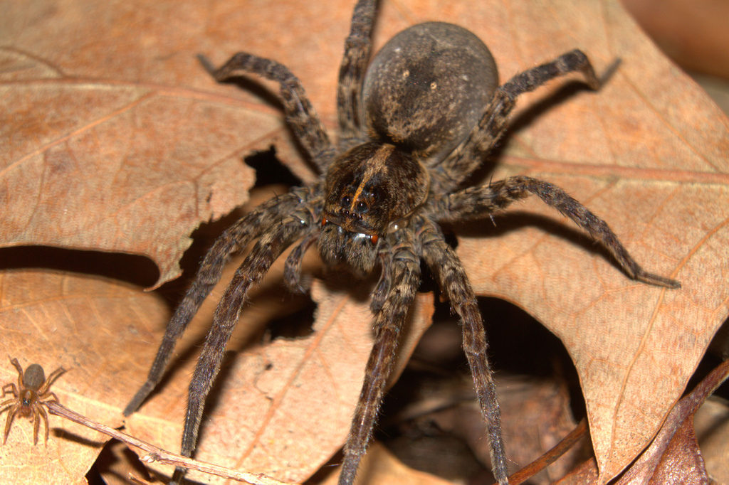 What Do Wolf Spiders Eat >> Wolf Spider Facts And Pictures The Infinite Spider