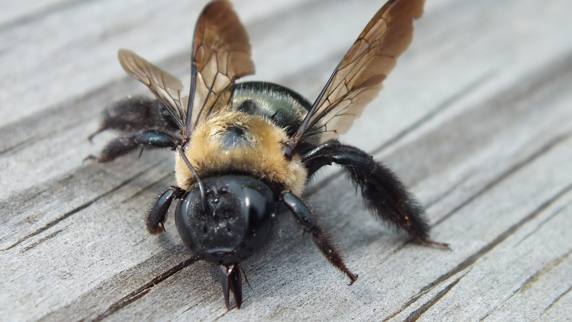Image result for carpenter bees