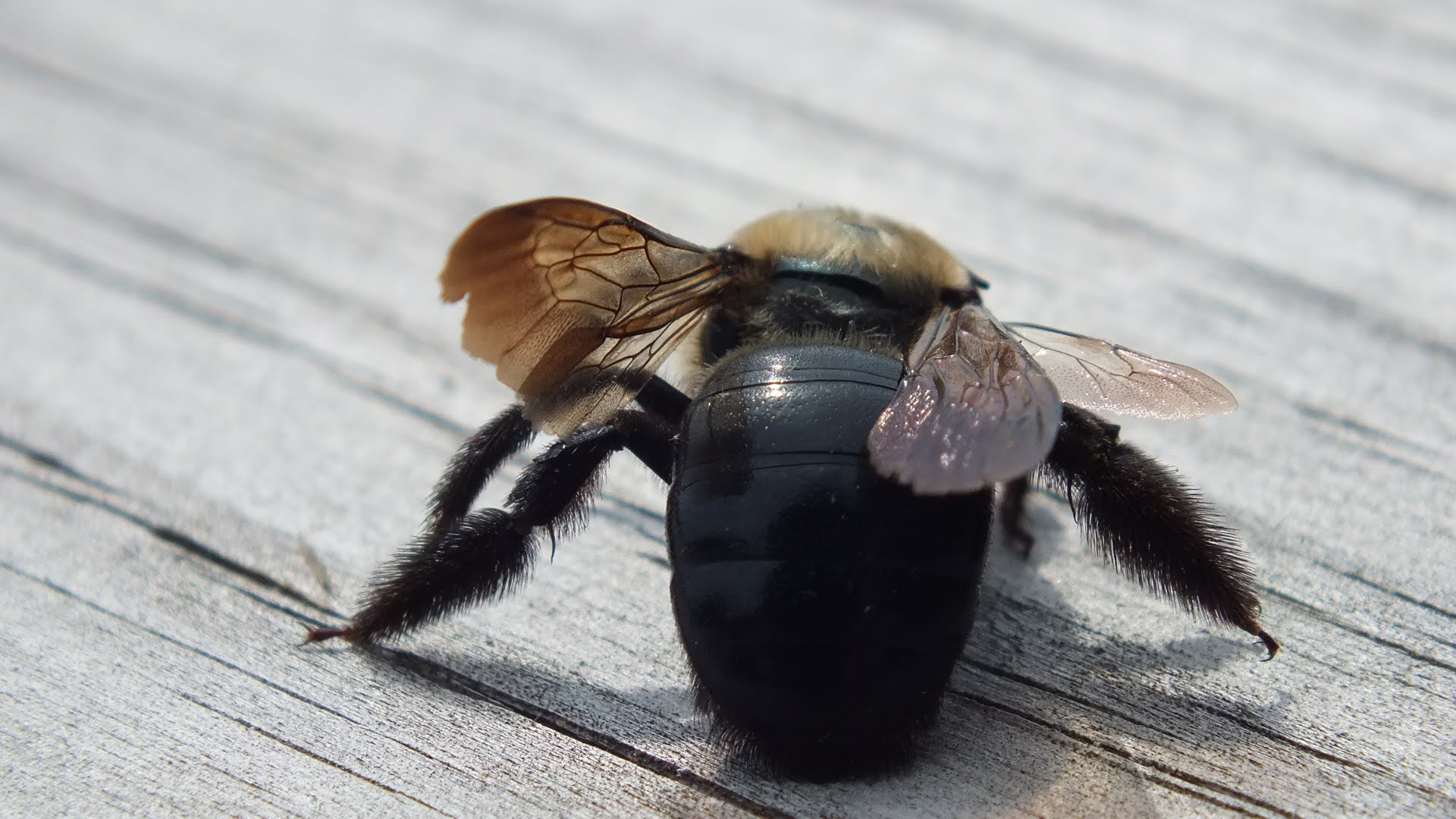 Carpenter bees - photo#45